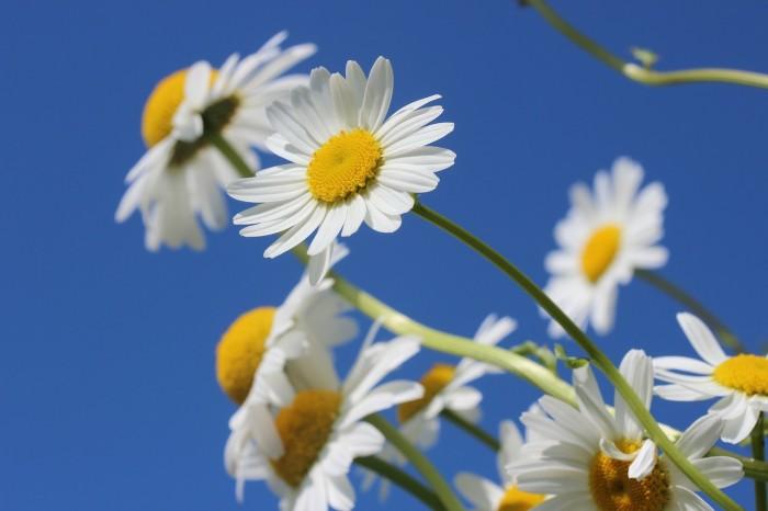 daisies-388946_1280