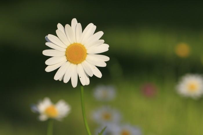 daisy-257734_1280